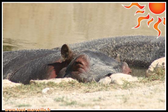 hippopotame de La Barben