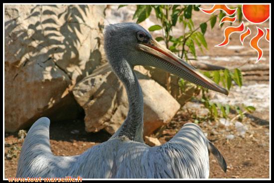 pelicans au zoo La Barben