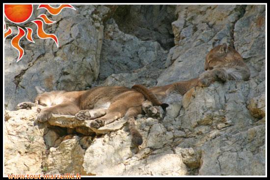 Pumas du zoo la barben